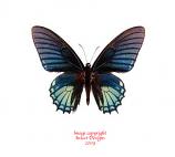 Papilio xanthopleura (Peru) A1-