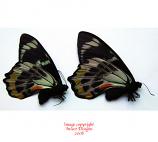 Papilio toboroi straatman (Solomons) A1 to A2