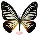 Paranticopsis xenocles lindos Thailand)