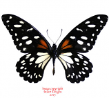 Papilio rex (Tanzania)