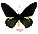Battus belus (Peru)