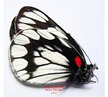 Delias diaphana yatai (Philippines)