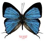 Tajuria igolotiana fumiae (Philippines) A-