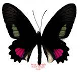 Parides anchises (Peru) A-