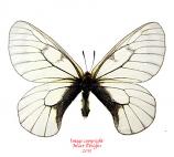 Parnassius stubbendorfii (Korea)