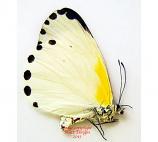 Mylothris spica (RCA)