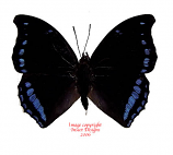 Charaxes laodice (RCA)