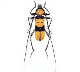 Rosalia formosa (Thailand) - pairs