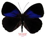 Eunica amelia (Peru)