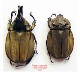 Spodistes mniszechi (Mexico) A2
