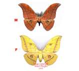 Antheraea yamamai (Korea)