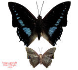 Charaxes imperialis (RCA)
