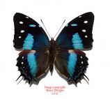 Baeotus japetus (Peru)