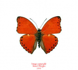 Cymothoe crocea (RCA)