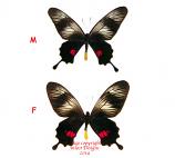 Papilio (Balignina) neptunus  (Philippines)
