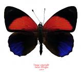 Asterope markii davisi - red (Peru) A-