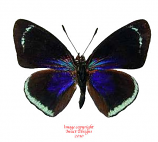 Catacore kolyma (Peru)