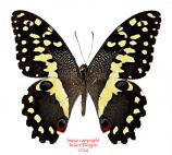 Papilio demodocus (RCA)
