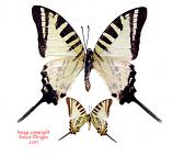 Graphium euphrates domaranus (Philippines)