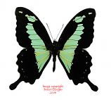 Papilio phorcas (RCA) A2