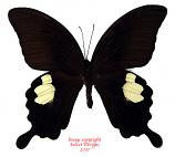 Papilio sataspes sataspes (Sulawesi) A-