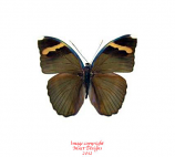 Euphaedra spatiosa (RCA)