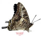 Charaxes achamenes (Tanzania)