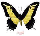 Papilio androgeus (Peru) A-