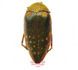 Sternocera castanea (Tanzania)