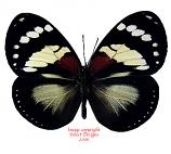 Euxanthe trajanus (RCA)