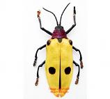 Alurnus sp. (Ecuador)