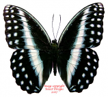 Cymothoe omilius (RCA)