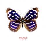 Myscelia cyaniris (Costa Rica)