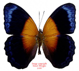 Cirrochroa regina regina (Papua) A1-/A-