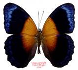 Cirrochroa regina regina (Papua)