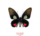 Parides vertumnus  (Peru)