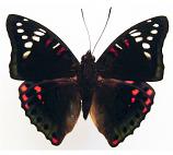 Euthalia lubentina (Philippines) A-