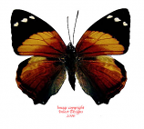 Smyrna blomfieldia (Peru)