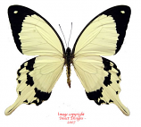 Papilio dardanus (RCA) A1 and A2