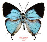 Dacalana monsapona (Philippines)