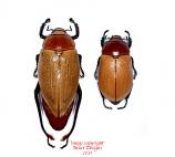 Heterosternus buprestoides (Guatemala) A2