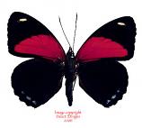 Callicore cyllene (Peru)