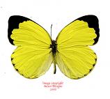 Eurema hecabe (RCA) A2
