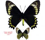 Battus madyes (Peru)