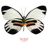 Perrhybris pamela (Peru) A-