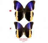 Caligo atreus dionysos (Costa Rica) A-