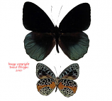 Eunica chrysochlora (Peru)