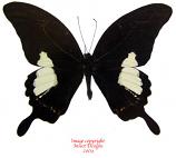 Papilio antonio (Philippines)