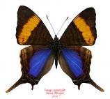 Marpesia corinna (Peru)