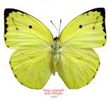 Catopsilia pomona (Thailand) A2